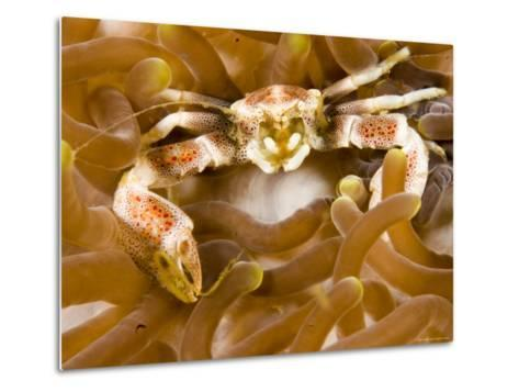 Porcelain Crab in a Sea Anemone, Malapascua Island, Philippines-Tim Laman-Metal Print