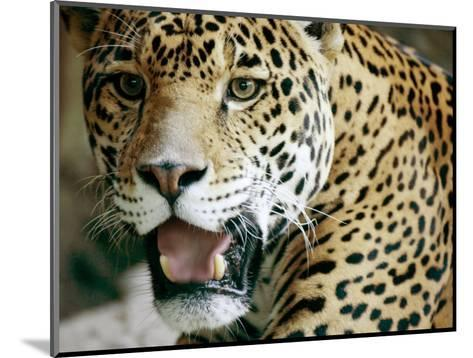 Portrait of a Captive Jaguar, Massachusetts-Tim Laman-Mounted Photographic Print