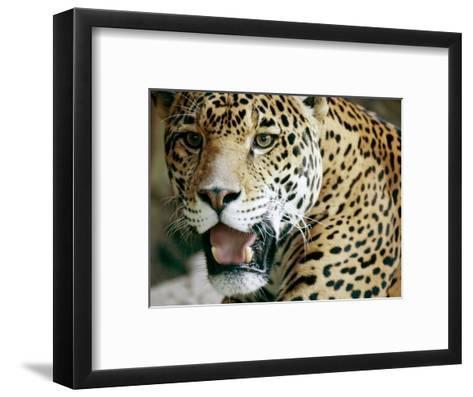 Portrait of a Captive Jaguar, Massachusetts-Tim Laman-Framed Art Print