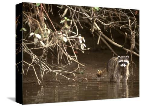 Racoon Walks into Creek for a Drink of Water-Kate Thompson-Stretched Canvas Print