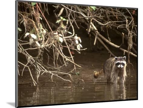 Racoon Walks into Creek for a Drink of Water-Kate Thompson-Mounted Photographic Print