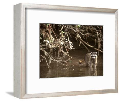 Racoon Walks into Creek for a Drink of Water-Kate Thompson-Framed Art Print