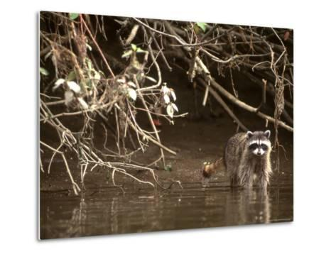 Racoon Walks into Creek for a Drink of Water-Kate Thompson-Metal Print