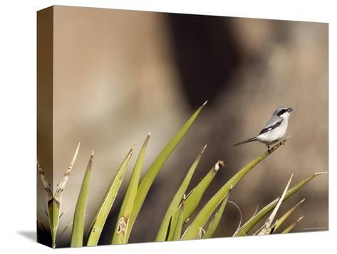 Loggerhead Shrike at Cottonwood Springs, Joshua Tree National Park, California-Rich Reid-Stretched Canvas Print
