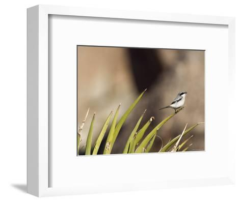 Loggerhead Shrike at Cottonwood Springs, Joshua Tree National Park, California-Rich Reid-Framed Art Print