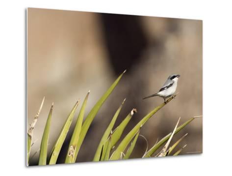 Loggerhead Shrike at Cottonwood Springs, Joshua Tree National Park, California-Rich Reid-Metal Print