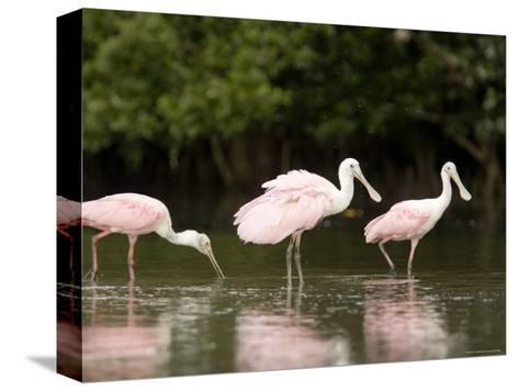 Roseate Spoonbills Feed on a Mangrove Island, Tampa Bay, Florida-Tim Laman-Stretched Canvas Print