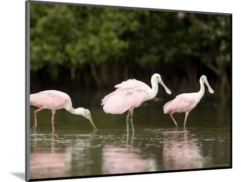 Roseate Spoonbills Feed on a Mangrove Island, Tampa Bay, Florida-Tim Laman-Mounted Photographic Print