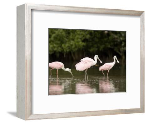 Roseate Spoonbills Feed on a Mangrove Island, Tampa Bay, Florida-Tim Laman-Framed Art Print