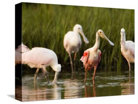 Roseate Spoonbills Forage Along the Edges of a Mangrove Island, Tampa Bay, Florida-Tim Laman-Stretched Canvas Print