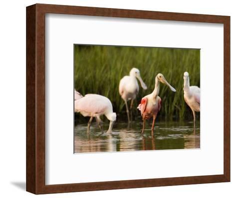 Roseate Spoonbills Forage Along the Edges of a Mangrove Island, Tampa Bay, Florida-Tim Laman-Framed Art Print