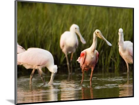 Roseate Spoonbills Forage Along the Edges of a Mangrove Island, Tampa Bay, Florida-Tim Laman-Mounted Photographic Print