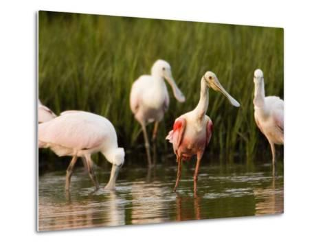 Roseate Spoonbills Forage Along the Edges of a Mangrove Island, Tampa Bay, Florida-Tim Laman-Metal Print