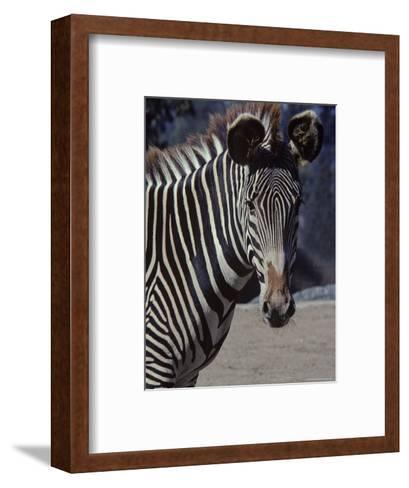 Portrait of a Zebra in the San Diego Zoo, California-Kenneth Garrett-Framed Art Print