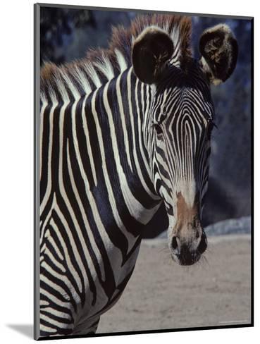 Portrait of a Zebra in the San Diego Zoo, California-Kenneth Garrett-Mounted Photographic Print