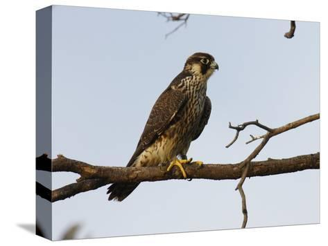 Peregrine Falcon Perches in a Tree, Bombay Hook, Delaware-George Grall-Stretched Canvas Print