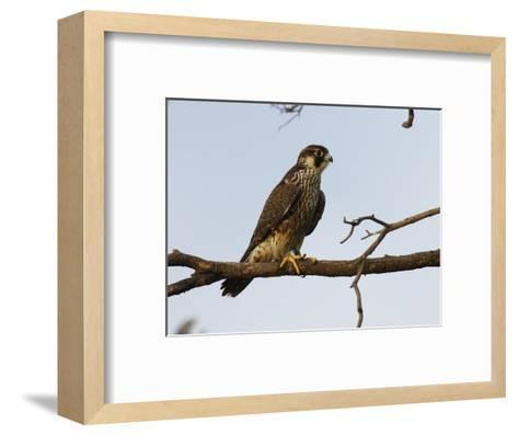 Peregrine Falcon Perches in a Tree, Bombay Hook, Delaware-George Grall-Framed Art Print