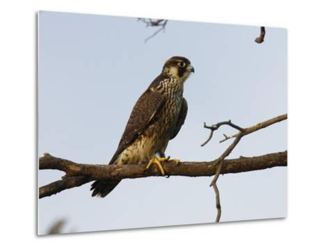 Peregrine Falcon Perches in a Tree, Bombay Hook, Delaware-George Grall-Metal Print