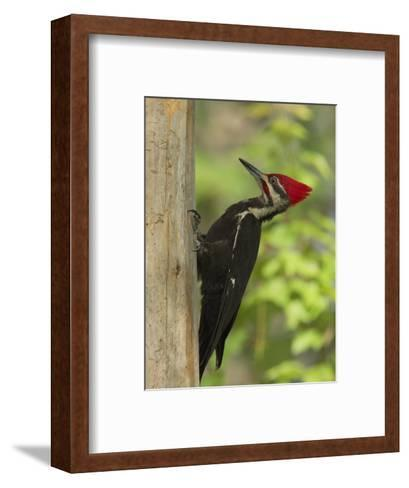 Pileatd Woodpecker Scales a Pine Tree Trunk-George Grall-Framed Art Print