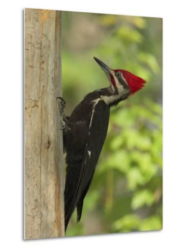Pileatd Woodpecker Scales a Pine Tree Trunk-George Grall-Metal Print