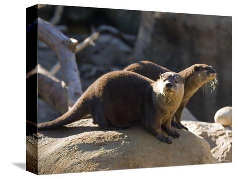 Pair of Asian Smalled-Clawed Otters, Santa Barbara, California-Rich Reid-Stretched Canvas Print