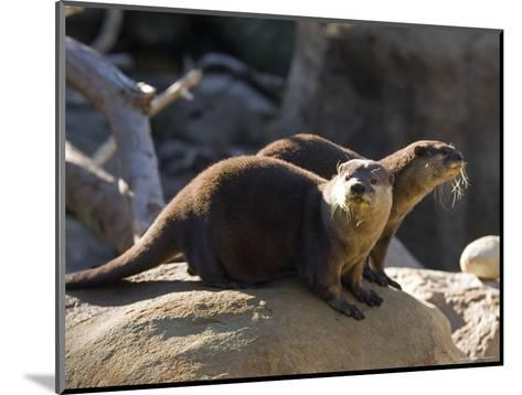 Pair of Asian Smalled-Clawed Otters, Santa Barbara, California-Rich Reid-Mounted Photographic Print