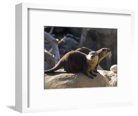 Pair of Asian Smalled-Clawed Otters, Santa Barbara, California-Rich Reid-Framed Art Print