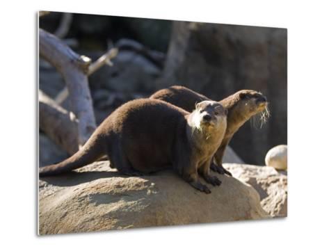 Pair of Asian Smalled-Clawed Otters, Santa Barbara, California-Rich Reid-Metal Print