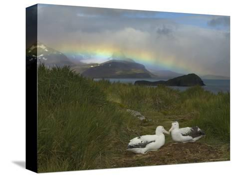 Rainbow and Wandering Albatross Nest Site, Prion Island, South Georgia-Ralph Lee Hopkins-Stretched Canvas Print