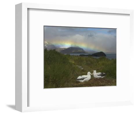 Rainbow and Wandering Albatross Nest Site, Prion Island, South Georgia-Ralph Lee Hopkins-Framed Art Print