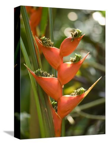 Lobster Claw Flower from South America, Asheboro, North Carolina-Joel Sartore-Stretched Canvas Print