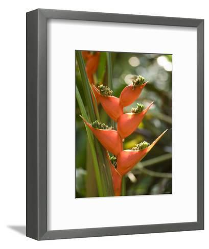 Lobster Claw Flower from South America, Asheboro, North Carolina-Joel Sartore-Framed Art Print