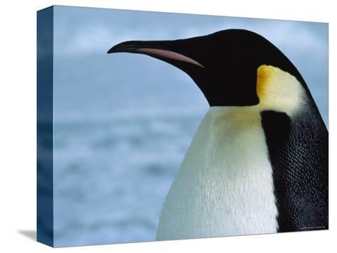Portrait of an Emperor Penguin in Profile-Bill Curtsinger-Stretched Canvas Print