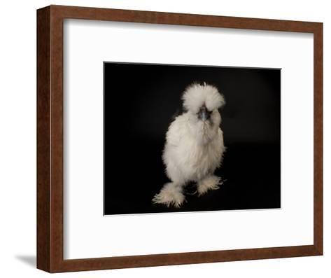 Silkie Bantam Chicken at the Sunset Zoo, Kansas-Joel Sartore-Framed Art Print