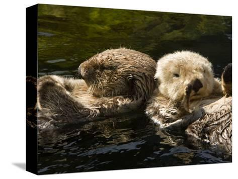 Two Captive Sea Otters Floating Back to Back-Tim Laman-Stretched Canvas Print