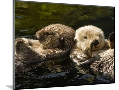 Two Captive Sea Otters Floating Back to Back-Tim Laman-Mounted Photographic Print
