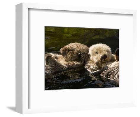 Two Captive Sea Otters Floating Back to Back-Tim Laman-Framed Art Print