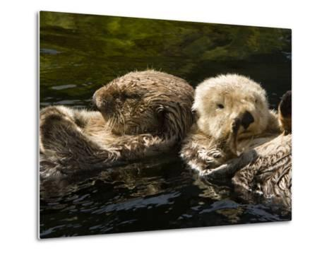 Two Captive Sea Otters Floating Back to Back-Tim Laman-Metal Print