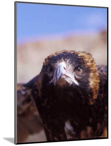 The Intense Glare of a Black Breasted Buzzard, Australia-Jason Edwards-Mounted Photographic Print