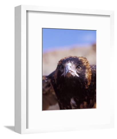 The Intense Glare of a Black Breasted Buzzard, Australia-Jason Edwards-Framed Art Print