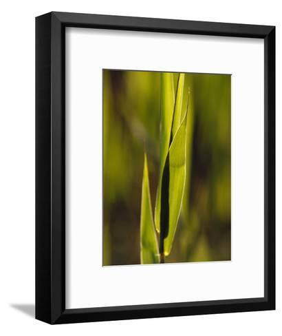 The Fresh Growth of Lime Green Reed Grass Backlit by the Setting Sun, Australia-Jason Edwards-Framed Art Print