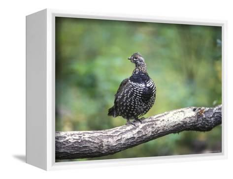 Spruce Grouse Perched on a Branch, Alaska-Rich Reid-Framed Canvas Print