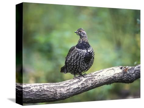 Spruce Grouse Perched on a Branch, Alaska-Rich Reid-Stretched Canvas Print