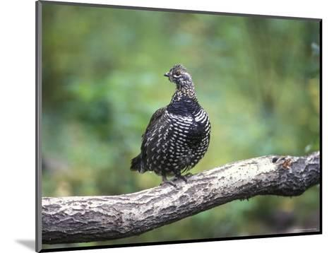 Spruce Grouse Perched on a Branch, Alaska-Rich Reid-Mounted Photographic Print