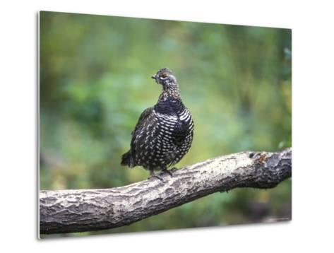 Spruce Grouse Perched on a Branch, Alaska-Rich Reid-Metal Print