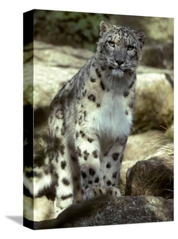 The Appraising Stare of a Majestic Snow Leopard, Alpine Predator, Melbourne Zoo, Australia-Jason Edwards-Stretched Canvas Print