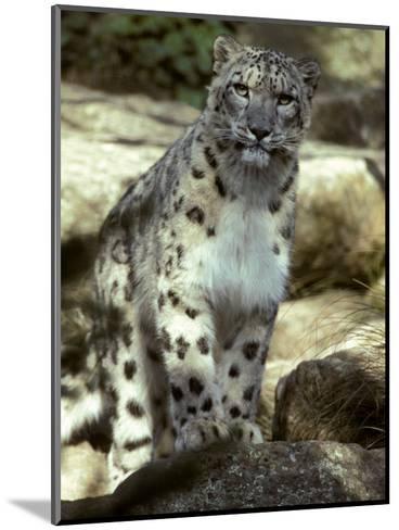 The Appraising Stare of a Majestic Snow Leopard, Alpine Predator, Melbourne Zoo, Australia-Jason Edwards-Mounted Photographic Print