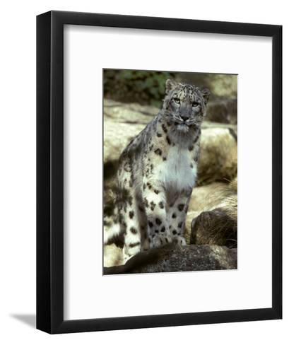 The Appraising Stare of a Majestic Snow Leopard, Alpine Predator, Melbourne Zoo, Australia-Jason Edwards-Framed Art Print