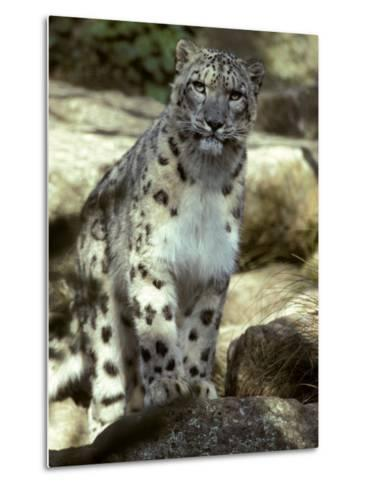 The Appraising Stare of a Majestic Snow Leopard, Alpine Predator, Melbourne Zoo, Australia-Jason Edwards-Metal Print