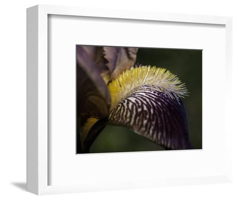 The Intricate Markings of a Purple Orchid Petal and Yellow Stamen, Australia-Jason Edwards-Framed Art Print